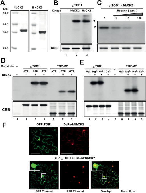 In vitro phosphorylation of XJTGB1 protein by recombinant CK2 kinase. (A) SDS-PAGE analysis of NbCK2α and HvCK2α purified from E. coli BL21 cells. (B) In vitro phosphorylation of XJTGB1 protein with the NbCK2α and HvCK2α recombinant proteins and negative controls lacking the kinases. (C) Effects of heparin on in vitro phosphorylation of XJTGB1 protein. Phosphorylation levels were reduced with increasing amount of heparin. (D) Ability of NbCK2α to use both ATP and GTP as phosphate donors. (E) Divalent metal ion specificity of NbCK2α and the TMV-MP (P30) proteins. The CBB-stained proteins at the bottom of panels (B)–(E) are as indicated as in Fig. 2B. (F) Co-localization of the GFP:XJTGB1 and DsRed:NbCK2α proteins in N. benthamiana leaf cells. Single localization of GFP:XJTGB1 and DsRed:NbCK2α proteins are indicated at the top of the panels. Bars, 50 μm. (This figure is available in colour at JXB online.)