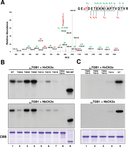 Thr-401 is the major XJTGB1 protein site for CK2 phosphorylation. (A) LC-MS/MS analysis of XJTGB1 protein phosphorylation by NbCK2α. The absence of phosphoric acid (97.9769Da) on the y16 ion fragment demonstrates that Thr-401 is a phosphorylation site for CK2 kinase. (B) Identification of the phosphorylation sites in XJTGB1 protein mutants by in vitro phosphorylation with HvCK2α and NbCK2α. The radioactive intensities of the XJTGB1 protein and its phosphorylation mutants indicate the extent of radiolabelling with [γ-32P]ATP. CBB-stained proteins at the bottom of the panels (B) and (C) are as indicated in Fig. 2B. (C) Phosphorylation comparisons of selected XJTGB1 protein mutants with wt XJTGB1 protein to confirm that Thr-401 is the major phosphorylated residue. (This figure is available in colour at JXB online.)
