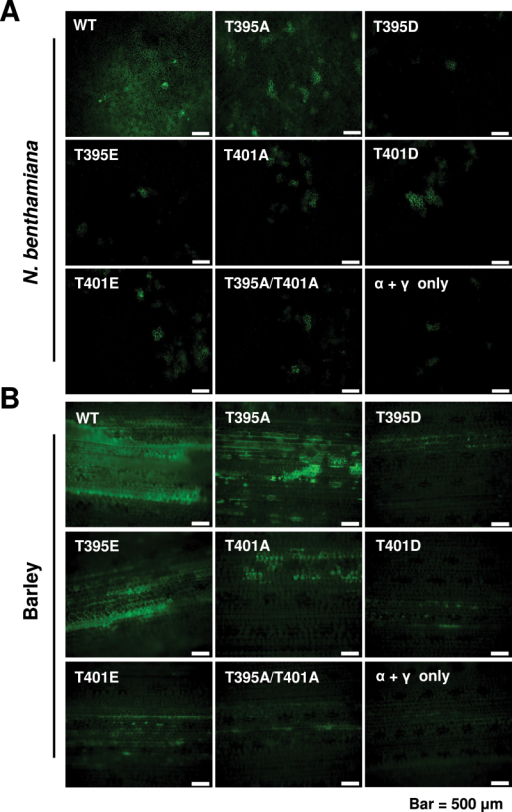 Effects of XJTGB1 protein phosphorylation on XJBSMV cell-to-cell movement in N. benthamiana and barley. (A) Fluorescence in N. benthamiana leaves at 3 dpi with an Agrobacterium mixture of pCa-αND, pCa-γND:GFP, and pCa-βXJ or the pCa-βXJ mutant derivatives. The total bacterial concentrations for infiltration were OD600 of 0.08. (B) Fluorescence in barley leaves at 3 dpi with in vitro transcripts of RNAα and RNAγ:GFP plus wt XJRNAβ or the XJRNAβ phosphorylation site mutant derivatives. Bars represent 500 μm. (This figure is available in colour at JXB online.)