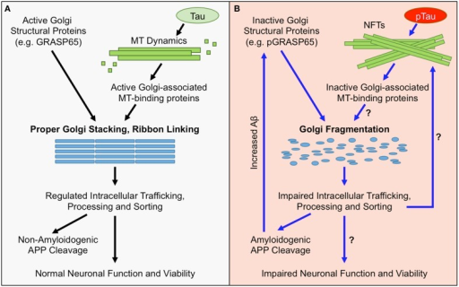 Golgi Morphological and Functional Defects in AD. (A) Under normal conditions, the structure of the Golgi is maintained by active Golgi structural proteins such as GRASP65 (non-phosphorylated) and an intact microtubule (MT) network. Maintaining the Golgi structure is essential for proper trafficking and processing of APP and its processing enzymes. The majority of APP undergoes non-amyloidogenic processing, and cell-surface proteins, lipids, and polysaccharides, which are essential for neuronal function, are properly sorted and transported. Together, these factors maintain neuronal functionality and viability. (B) In AD, the Golgi is fragmented due to inactivation of Golgi structural proteins, such as degradation or phosphorylation of GRASP65 (pGRASP65), or tau hyper phosphorylation (pTau) and NFT formation that disrupt MT dynamics and protein trafficking. Golgi fragmentation impairs trafficking, processing, and sorting of APP and APP-processing enzymes, which stimulates amyloidogenic APP cleavage and further inactivates GRASP65. Additionally, Golgi fragmentation is predicted to alter trafficking, processing, and sorting of proteins, lipids, and polysaccharides that are essential for neuronal function; which could ultimately promote neuronal dysfunction and/or cell death.