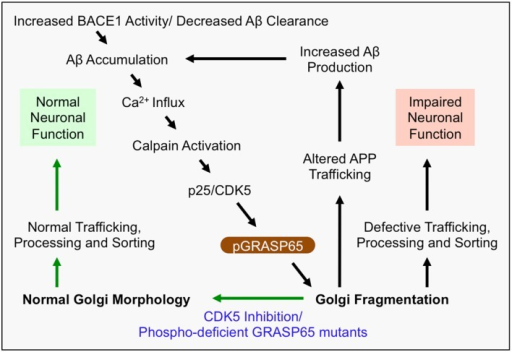 Mechanism of Golgi defects in AD. Increased BACE1 activity and/or decreased Aβ clearance from the extracellular space leads to the accumulation of Aβ. In turn, Aβ induces Ca2+ influx, which activates Calpain and induces cleavage of p35 to p25. Consequently, p25 activates CDK5, which in turn phosphorylates and inactivates the Golgi structural protein GRASP65 (i.e., pGRASP65). Inactivation of GRASP65 causes Golgi fragmentation, which alters trafficking of APP, and potentially the secretases, leading to increased Aβ production. This deleterious feedback loop (indicated by black arrows) would impair the integrity of the secretory pathway for sorting, trafficking and modifications of many essential proteins, which may compromise neuronal function, activate inflammatory responses, or cause neuronal cell death. Inhibition of CDK5 or expression of non-phosphorylatable GRASP65 mutants restores the normal Golgi morphology and reduces APP trafficking and Aβ production (indicated by green arrows). Therefore, rescue of the defective Golgi may delay AD development.