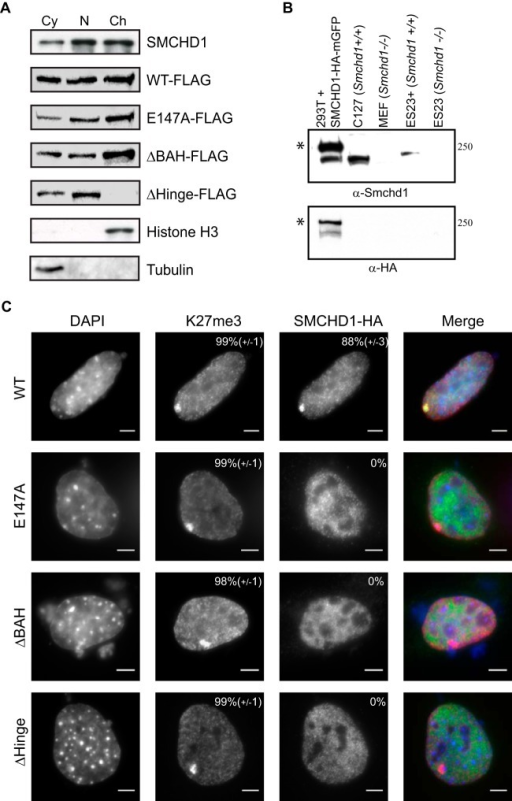SMCHD1 conserved domains are required for chromatin loading. (A, top) Western blot showing subcellular fractionation of endogenous SMCHD1 and Smchd1−/− ES23 cells stably expressing WT SMCHD1-FLAG and mutant derivatives (Fig. 3B) in cytoplasmic (Cy), soluble nuclear (N), and chromatin-bound (Ch) fractions. Endogenous SMCHD1 from WT E14 ESCs is present in all fractions but predominantly in and approximately equally divided between the nuclear and chromatin-bound lanes. (Bottom) Histone H3 as a control for the chromatin-bound fraction and tubulin as a control for the cytoplasmic fraction. (B) Rabbit polyclonal anti-SMCHD1 antibody was tested by Western blotting against nuclear extracts from human HEK293T cells transfected with an SMCHD1-HA-monomeric GFP (mGFP) plasmid, wild-type mouse C127 fibroblasts, Smchd1−/− MEFs, Smchd1−/− ESCs stably expressing SMCHD1-FLAG (ES23+), and Smchd1−/− ESCs (ES23). Bands at the predicted molecular masses are visible in extracts containing SMCHD1 but not in extracts from Smchd1−/− cells. Asterisks indicate HA-mGFP-tagged protein. (C) Localization of SMCHD1 mutants in Smchd1−/− mouse embryonic fibroblasts. Cells were transfected with plasmids containing WT and derivative SMCHD1 constructs and stained with DAPI to mark DNA (blue), anti-K27me3 antibody for Xi (red), and anti-HA for SMCHD1 (green). The percentage of cells showing a focus for Xi is shown at the top right of each antibody panel, representing the means from 3 replicates (n > 50 cells). Bars, 5 μm.