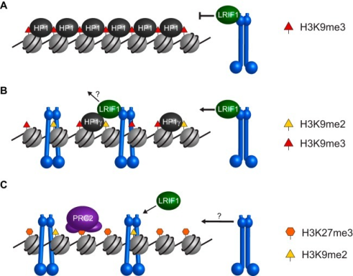 Model for SMCHD1 recruitment to chromatin. (A) Constitutive heterochromatin such as that found at pericentromeric regions is marked by H3K9me3 and all three HP1 paralogs. Recruitment of SMCHD1 (blue) to these sites by LRIF1 may be blocked by the compact and inaccessible organization of HP1 protein oligomers. (B) Other heterochromatic sites, such as telomeres and subtelomeric D4Z4 repeats, are marked by H3K9me2 and H3K9me3 and HP1γ. SMCHD1 recruitment to these sites is mediated by LRIF1 and is independent of the ATPase and BAH domains. (C) SMCHD1 recruitment to Xi in mouse, which is marked with H3K27me3 and H3K9me2, is independent of LRIF1 but requires ATPase activity and the BAH domain. The molecular mechanism behind SMCHD1 loading onto Xi is unknown but may be an active process similar to the loading of conventional SMC proteins via hinge opening.