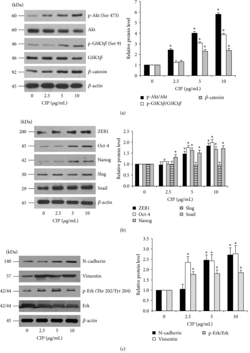 Effects of CIP on Wnt/β-catenin signaling, EMT, and self-renewal transcription factors in DPCs. (a) Cells were treated with CIP (1–10 μg/mL) for 72 h. After indicated treatment, the levels of Wnt/β-catenin signaling (Akt, p-Akt (Ser 473), GSK3β, p-GSK3β (Ser 9), and β-catenin) were analyzed by western blot analysis. The immunoblot signals were quantified by densitometry and mean data from independent experiments were normalized to the results. (b) EMT and self-renewal transcription factors (ZEB1, Oct-4, Nanog, Slug, and Snail) were determined by western blot analysis. (c) Downstream targets of Snail including N-cadherin, vimentin, total Erk, and p-Erk (Thr 202/Tyr 204) were analyzed by western blot analysis. β-actin was used as the loading control. The western blot signals were quantified by densitometry and mean data from independent experiments were normalized to the results. The data represent the means of four independent samples ± SD. ∗P < 0.05 versus untreated control.