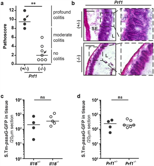 Perforin-deficient mice fail to elicit overt gut inflammation by 12h p.i.(a and b) Prf1-/- mice and littermate controls were Sm-pretreated and infected orally with 5x107 CFU S.Tm for 12h. (a) Pathological score; arrows indicate representative mice depicted in panel b, (b) HE-stained cryosections from representative mice of each group. (c) Il18-/- mice and littermates or (d) Prf1-/- mice and littermates were Sm-pretreated and infected orally with 5x107 CFU S.Tm-pssaG-GFPmut2 for 12h (n = 4–6 per group). S.Tm cecum tissue counts were determined per 20μm cross-section. Statistical analysis was performed using the Mann-Whitney-U test (** = p<0.01).