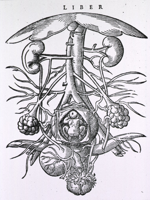 <p>Detail of the female urogenital system.</p>