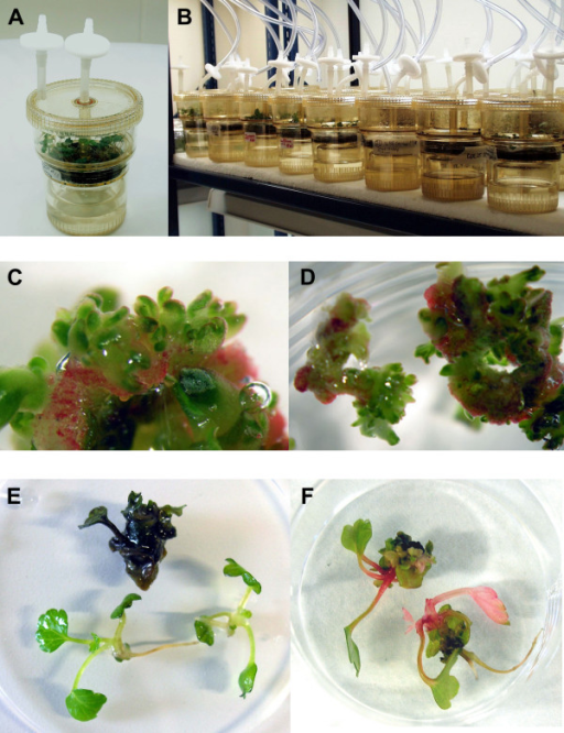 organogenesis of transgenic strawberry in temporary imm