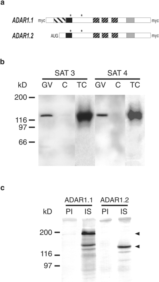 Xenopus ADAR1.1 and ADAR1.2 are recognized by  SAT antisera. (a) Schematic representation of myc-tagged Xenopus ADAR1.1 and ADAR1.2 proteins. ADAR1.1 contains an  11–amino acid long peptide motif that is repeated 14 times (left  striped box). Both proteins contain a putative Z-DNA binding  domain (black box), three dsRBDs (right striped boxes) and a  catalytic deamination domain (light gray box). The positions of  two putative NLSs is indicated by asterisks. ADAR1.1 was myc-tagged at the NH2 terminus, the COOH terminus or at both ends  while ADAR1.2 was only myc-tagged at its COOH terminus. An  AUG codon was introduced at the 5′ end of the ADAR1.2  cDNA that was missing from our original cDNA clone. (b) Western blots of oocyte nuclei (GV), cytoplasms (C), and XlA6 cells  (TC) detected with Sat3 or Sat4 antisera directed against part of  the ADAR1.1 protein. Both antisera recognize a nuclear protein  of 125 kD that can also be detected in tissue culture cells. The detected band is smaller than the predicted molecular mass of  ADAR1.1 but correlates well with the reported molecular mass  of purified ADAR1.1 from Xenopus. 5 GVs and 5 cytoplasms  were loaded per lane. (c) Sat antisera can precipitate ADAR1.1  and ADAR1.2. Myc-tagged ADAR1.1 or ADAR1.2 was expressed in Xenopus oocytes. Oocyte extracts expressing either  ADAR protein were used for immunoprecipitation with Sat3 antiserum (IS), preimmune serum (PI), or Sat4 antiserum (not  shown). The precipitated material was probed with mAb 9E10  for the presence of myc-tagged ADAR1. Both ADAR1.1 and  ADAR1.2 could be precipitated by Sat antiserum (IS) but not  by the corresponding preimmune serum (PI). Positions of myc-tagged ADAR1.1 and ADAR1.2 are indicated by arrowheads.  myc-tagged ADAR1.1 can be detected in its full-length form  (185 kD) and in a smaller version (150 kD) which is probably a  proteolytic breakdown product.