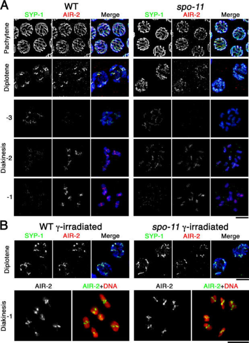Dynamic localization of SYP-1 and AIR-2. (A) Immunolocalization of SYP-1 and AIR-2 in wild-type and spo-11 nuclei at the indicated stages. For diakinesis nuclei, −3, −2, and −1 indicate position relative to the spermatheca, with the oocyte in the −1 position (closest to the spermatheca) being the most mature. In A and B, detection thresholds for α-AIR-2 signals were lower for the pachytene and diplotene panels than for the diakinesis panels to permit imaging of both the lower levels of chromosome-associated AIR-2 at the earlier stages and the subchromosomal localization of the higher levels of AIR-2 in late diakinesis. DAPI-stained chromatin is shown in blue in the merged images. (B) SYP-1 and AIR-2 localization after γ-irradiation. Bars, 5 μm.