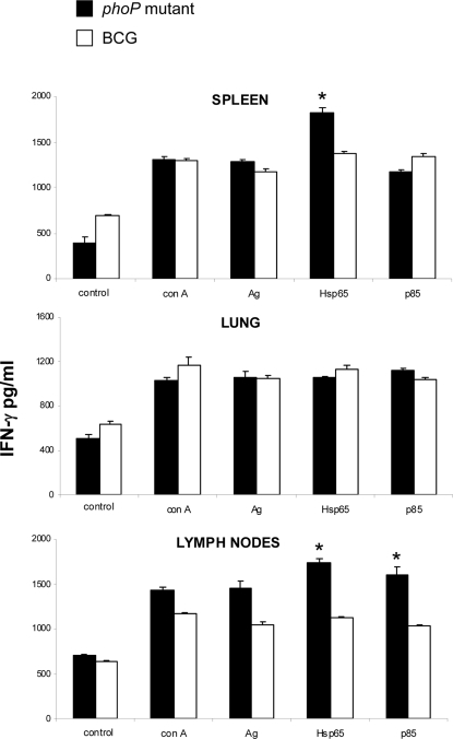 Hsp65- and Ag85A-specific responses exhibited by mice immunised with M. tuberculosis phoP mutant and BCG.Cells from spleen, lungs and lymph nodes from mice immunised with either BCG or the phoP mutant were stimulated with Hsp65 or Ag85A (p 85) and IFNγ production was measured by ELISA. Bars represent mean and SD from two separate experiments. Asterisks indicate significant differences in IFN-γ production. A higher percentage of Hsp65-specific cells is found in spleen and lymph nodes from mice immunized with SO2 when compared with BCG-immunised mice. Lymph nodes from SO2-immunised mice contained a higher fraction of cell responding to Ag85 in comparison with BCG-immunised mice.