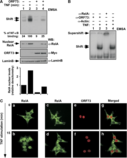 RelA nuclear levels are diminished in ORF73-expressing cells. (A) Reduction of NF-κB binding to κB sequences in ORF73-expressing cells correlates with diminished levels of nuclear RelA. HEK 293T cells were transiently transfected with an ORF73 expression plasmid, or control transfected. After 24 h of culture, cells were stimulated with TNF for 40 min, or left unstimulated. Nuclear extracts were prepared and subjected to electromobility shift assays (EMSAs) using the NF-κB consensus oligonucleotide from the immunoglobulin promoter region. The percentage of NF-κB binding present in each condition is shown. Nuclear extracts were analysed by immunoblotting to determine the input of RelA and ORF73 present in each binding reaction. Densitometry analysis of RelA nuclear levels present in each experimental condition, normalised to the nuclear protein LaminB, is shown. (B) ORF73 protein does not bind to κB sequences. Nuclear extracts from HEK 293T cells expressing ORF73 were subjected to a supershift assay using the specified antibodies. (C) Immunofluorescence analysis of ORF73-expressing cells. HEK 293T cells were stimulated with 50 ng/ml of TNF for the times indicated and then subjected to immunostaining with anti-RelA and anti-ORF73 antibodies. −, without; +, with; α, anti; WB, western blotting.