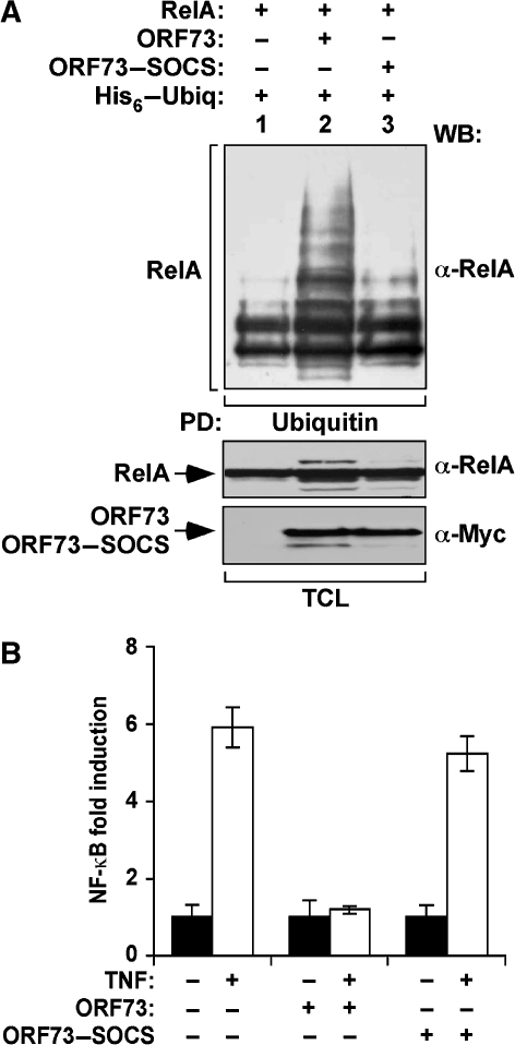 SOCS-box disruption reverts ORF73 inhibition of NF-κB transcriptional activity. (A) ORF73–SOCS mutant is unable to promote RelA poly-ubiquitination. HEK 293T cells were transfected with the different combinations of plasmids (top). After culture, poly-ubiquitination of RelA was assessed as described in Figure 3A. −, without; +, with; α, anti; PD, pull down; TCL, total cellular lysates; WB, western blotting. (B) ORF73–SOCS mutant is unable to inhibit TNF-driven NF-κB transcriptional activity. HEK 293T cells were transfected with the NF-κB luciferase reporter together with the plasmids allowing the expression of the indicated proteins (bottom). Transfected cells were either stimulated with (open bars) or without (filled bars) 50 ng/ml of TNF. NF-κB activity associated with each condition was assayed using a luminometer. Error bars represent the standard deviations of the mean in three independent experiments.