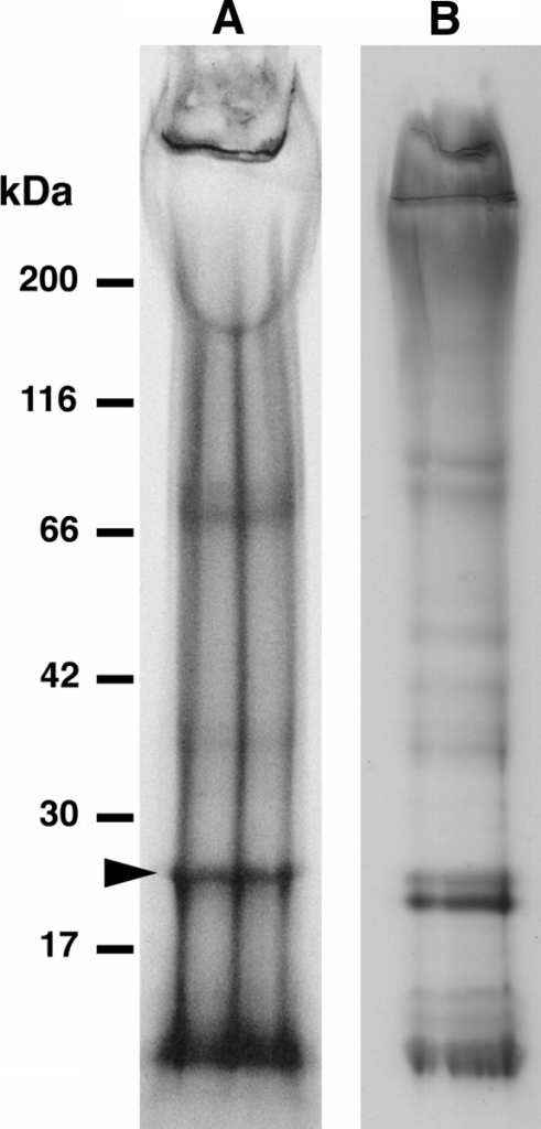 Silk proteins of Rhyacophila obliterata separated by polyacrylamide electrophoresis from silk fibers used to construct shelters for pupation (a) and from dope collected from the silk gland lumen (b). The arrow in A indicates the fraction proven to be L-fibroin. Note that proteins of similar size occur also in the silk dope
