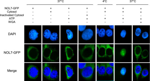 NOL7 requires cytosolic factors for efficient nuclear localization. HeLa cells permeabilized with digitonin were incubated at 4°C or 37°C as indicated with (+) or without (-) full length NOL7 expressing a C-terminal GFP tag, cytosol, heat-inactivated cytosol, ATP, or WGA. Localization of NOL7 was confirmed by visualization of GFP.