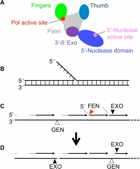 Schematic diagrams of polymerase I and flap DNA.(A) Polymerase I is composed of polymerase domain, which consists of finger, palm, thumb and 3′-5′ exonuclease subdomains, and 5′-nuclease domain. (B) Flap DNA with no single-stranded gap. (C) From left to right. Okazaki fragments consist of a few nucleotides of RNA primer (grey lines), which are then extended by DNA polymerases using deoxynucleside triphosphates to make the daughter DNA strand (dark arrows). Okazaki fragment synthesis gives rise to flap structures as follows when the 3′ end of a newly synthesized strand encounters the 5′ end of the RNA primer of the downstream Okazaki fragment. Strand displacement synthesis occurs (centre right) and the flap is then cleaved by FEN activity (red triangle) of Pol1 5′-nuclease domain. Normally a nick results which is sealed by DNA ligase. (D) Excessive or unregulated FEN EXO or GEN activity (shown by black and open triangles respectively) could give rise to extended single-stranded regions or even double strand breaks as shown.