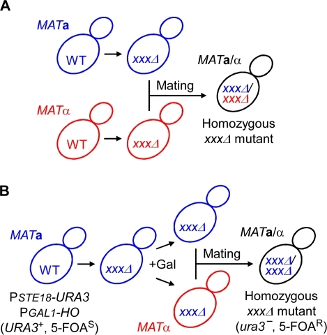 Strategy for construction of homozygous diploid strains.(A) The traditional method requires individual construction of MATa and MATα haploid strains carrying different selection markers (linked to mutations or each strain). The diploid strains can be selected on plates lacking nutrients or containing antibiotics. (B) The new method proposed in this study generates homozygous diploids from a single haploid strain by subsequent use of the PGAL1-HO (galactose-inducible mating-type switch) and PSTE18-URA3 (counter selection marker for diploids) genes. The diploid strains are selected on plates containing 5-FOA, where non-mated haploid strains cannot grow.