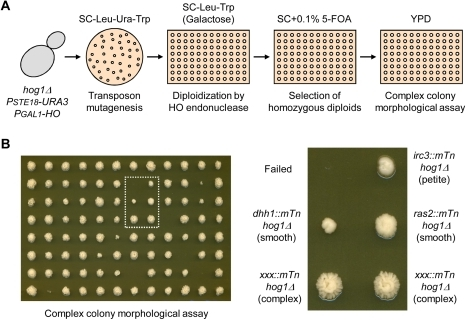 Screening suppressor mutations of the complex colony morphology or hyper-filamentous growth phenotype in the hog1Δ/hog1Δ backgrounds.(A) Strategy for screening the suppressor mutations. Using the haploid hog1Δ PSTE18-URA3 strain carrying pJH283 (PGAL1-HO::TRP1) as a host strain, transposon insertion mutagenesis was performed and mutant strains defective in complex colony morphology were screened by visual inspection. The details are described in Materials and Methods. (B) One example of the screening results is shown. The candidates, smooth colony or less complex colony, were further analyzed: identification of the transposon insertion position, mating-type PCR, and morphological assay for invasive growth and filamentous growth.
