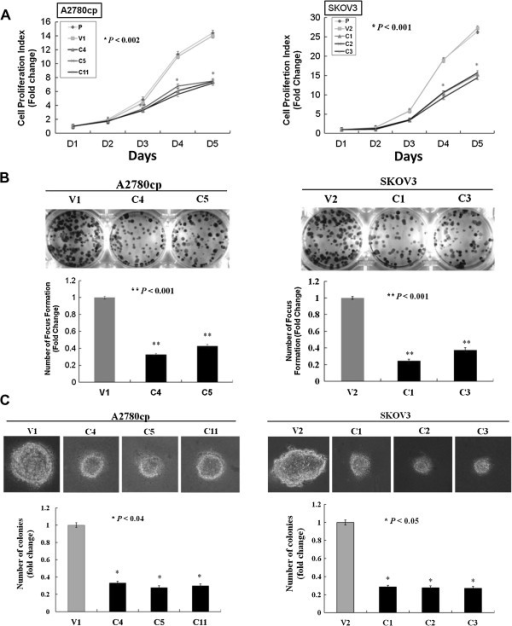 Overexpression of AMPK-β1 inhibits cell proliferation and anchorage-independent growth ability. (A) XTT cell proliferation assay showing that enforced expression of AMPK-β1 in A2780cp (C4, C5 and C11) (P < 0.002) and SKOV3 (C1, C2 and C3) (P < 0.001) clones displaying a 45 to 50% decrease in the cell growth rate compared with the empty vector (V1) and the parental (P) cell control. (B) Focus formation assay showing that the size and number of foci was reduced 2.5- to 3-fold in AMPK-β1 stable clones of A2780cp (C4 and C5) (P < 0.001) cells and 3- to 4-fold in AMPK-β1 stable clones of SKOV3 (C1 and C3) (P < 0.001) cells compared with the vector controls. (C) Soft agar assay revealing that the AMPK-β1 stable clones of A2780cp (C4, C5 and C11) (P < 0.04) and SKOV3 (C1, C2 and C3) (P < 0.05) cells had a 2.5- to 3-fold reduction in the size and number of colonies compared with the control. P: parental. V, V1 or V2: empty vector controls.