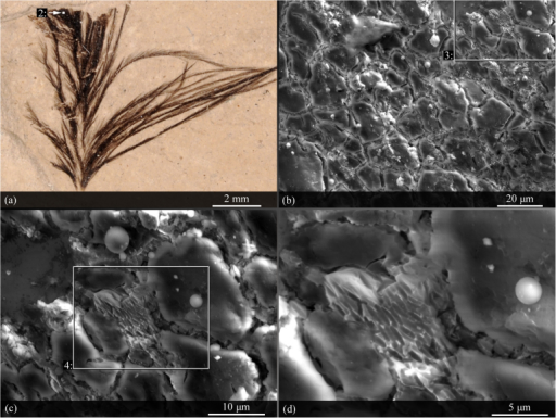 Trace evidence for melanin pigmentation in an Eocene fossil feather (USNM 584927).(a). The dark material towards the distal tip of the feather was examined under a scanning electron microscope. (b–d). Small clusters of elongate, rounded structures within the dark region are morphologically consistent with fossil melanosome casts5. Parameters for scanning electron micrographs: (b). 12 kv accelerating voltage, 5.5 spot size, 8.4 mm working distance, 1.4 torr water vapor pressure; (c). 13 kv accelerating voltage, 5.3 spot size, 8.5 mm working distance, 1.4 torr water vapor pressure; (d). 13 kv accelerating voltage, 5.3 spot size, 8.4 mm working distance, 1.4 torr water vapor pressure. Contrast and brightness have been altered for image clarity.