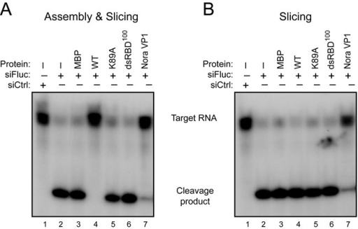 340R does not inhibit Slicer activity of pre-assembled RISC. (A) In vitro RNA cleavage (Slicer) assay in Drosophila embryo lysates to analyze the effect of 340R on RISC assembly and subsequent AGO2 catalytic activity. Embryo lysates were pre-incubated for 30 min with recombinant proteins (lanes 3–8) or protein storage buffer (lanes 1 and 2), followed by the addition of Fluc-specific siRNAs (siFluc, lanes 2–8) or non-specific control siRNAs (siCtrl, lane 1). After another 30-min incubation, a radioactive cap-labeled Fluc target RNA was added to the reaction mixture. Target cleavage was analyzed on a denaturing gel after a further 2-h incubation. (B) Slicer assay to monitor the effect of WT 340R on Slicer activity of a pre-assembled RISC. Recombinant proteins (lanes 3–8) were added after RISC assembly for 30 min with siFluc (lanes 2–4) or siCtrl (lane 1). After a further 30-min incubation, target RNA was added and the reaction was allowed to proceed for 2 h before analysis. Nora virus VP1 was analyzed at a concentration of 0.3 μM, all other proteins at 1.5 μM.