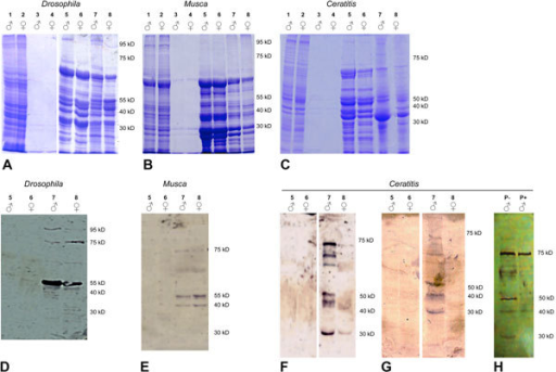 SDS-PAGE electropherograms (A-B-C) and immunoblots (D-E-F-G-H) produced with protein extracts from adult males and females of Drosophila, M. domestica and C. capitata. 1) total lysate of males; 2) total lysate of females; 3) 90% ammonium sulfate precipitation supernatant of males; 4) 90% ammonium sulfate precipitation supernatant of females; 5) Mg++ supernatant of males; 6) Mg++ supernatant of females; 7) Mg++ pellets of males; 8) Mg++ pellets of females; P-) Mg++ pellets of C. capitata males without phosphatase treatment; P+) Mg++ pellets of C. capitata males with phosphatase treatment. After transfer to nitrocellulose, blots were incubated with either mAb104 or no primary antibody (as a control; data not shown).