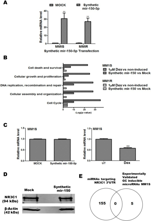 Mir-150-5p mimetic transfection triggers GR specific gene expression in MM1S but not in MM1R cells, without modulating GR protein levels.(A) QPCR based quantification of synthetic mir-150-5p levels present 72 h after transfection of MM1S and MM1R cells. The miRNA expression levels have been normalized to SNORD 95 and SNORD 96A housekeeping miRNAs and are presented relative to MOCK control. Bar graphs represent relative miRNA (mean ± SEM) levels of three independent experiments. Means with ***, **, * are significantly different (p<0.001, <0.01 or <0.05) from control setups according to two-way ANOVA (Bonferroni post-tests). (B) Comparison of top enriched pathways (IPA) of mRNA changes in MM1S cells treated for 72 h to 1 µM Dex versus changes in MM1S and MM1R cells after 72 h mock transfection of transfection with synthetic mir-150-5p. (C) NR3C1/GRα protein levels detected following 72 h transfection of a synthetic mir-150-5p mimetic in MM1S cells. (D) Venn-diagram which represents the overlap of experimentally validated GC inducible microRNAs in MM1S cells with the list of miRNAs predicted to target the 3′UTR of NR3C1. (E) QPCR analysis of NR3C1/GRα mRNA levels present in MM1S cells following 72 h transfection of a synthetic mir-150-5p mimetic (left panel) or following 72 h Dex (1 µM) treatment (right panel).