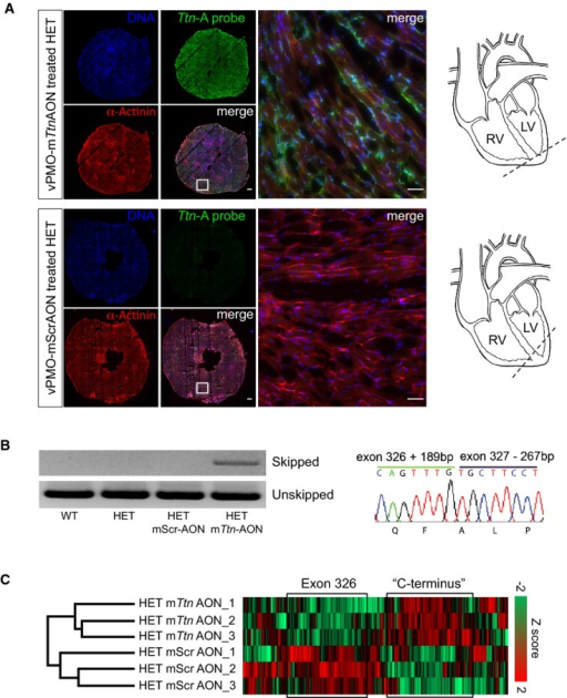 Efficient skipping of exon 326 in vivo-morpholino-modified antisense oligonucleotide-treated adult Ttn Ser14450fsX4 knock-in miceFluorescence in situ hybridization (FISH) of heart muscle tissue from adult knock-in mice with a probe complementary to vPMO-mTtnAON. Scale bars, 250 and 50 μm (magnification).RT–PCR analysis of Ttn exon 326 transcripts from heart tissue of untreated WT and HET animals and vPMO-mScrAON- and vPMO-mTtnAON-treated mice (left). Representative direct sequencing of Ttn exon 326 transcripts from vPMO-mTtnAON-treated HET heart tissue (right).Mass spectrometry-based analysis of titin peptides in adult knock-in mice injected with vPMO-mScrAONs and vPMO-mTtnAONs. Unsupervised hierarchical clustering identified a cluster enriched in exon 326 peptides that was down-regulated in vPMO-mTtnAON-treated animals compared to vPMO-mScrAON-treated littermates. Another cluster enriched in C-terminal peptides was up-regulated in the vPMO-mTtnAON group compared to the vPMO-mScrAON group (n = 3, P = 0.02, Fisher's exact test, FDR = 0.04).