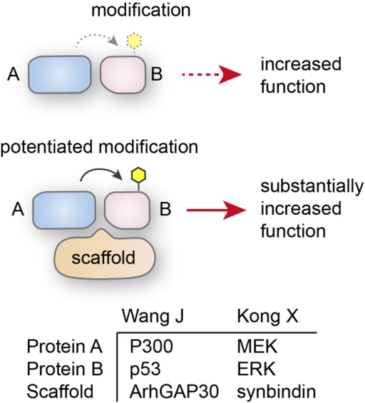 Schaffold protein stimulates the modification of protein B by protein AThe examples for both proteins are shown in the lower panel.
