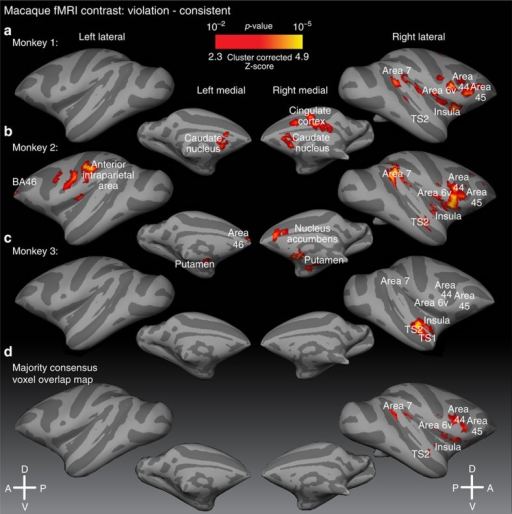Macaque brain regions sensitive to sequence ordering violations.Statistical parametric maps of sensitivity to sequence violations (contrast: violation versus consistent) displayed in each of the three macaques (a–c) and in a majority consensus voxel-overlap map (d), all P<0.05 cluster corrected (see Methods). Results are displayed on rendered lateral and medial surface representations transformed to a standard monkey brain in register with a macaque stereotactic atlas (Methods); light grey: gyri; dark grey: sulci. A, anterior; D, dorsal; P, posterior; V, ventral, see also Supplementary Figs 5 and 6.