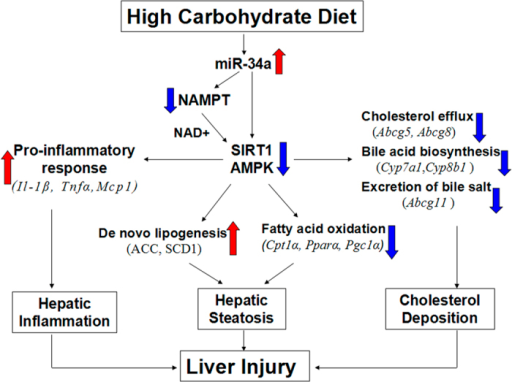 Proposed mechanisms of HCD induced liver injury in mice.High carbohydrate diet feeding upregualted the expression of miR-34a,which could inhibited the protein expression and activity of NAMPT, SIRT1 and AMPK, then increased the expression of genes related to hepatic inflammatory response, hepatic de novo lipogenesis and cholesterol deposition, decreased the expression of genes involved in fatty acid oxidation in the livers, thus, the enhanced hepatic inflammation, steatosis and cholesterol deposition synergesticlly resulted in the liver injury.