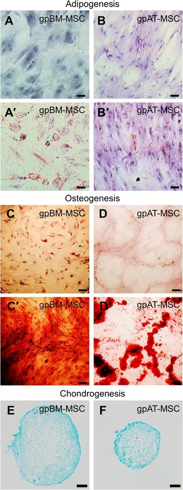 Differentiation potential of guinea pig MSCs. GpBM-MSCs and gpAT-MSCs cultured without (a, b) and with (a′, b′) adipogenesis differentiation medium for 14 days and stained with Oil red O. Scale bar = 50 μm. GpBM-MSCs and gpAT-MSCs cultured without (c, d) and with (c′, d′) osteogenesis differentiation medium for 21 days and stained with Alizarin red S. Scale bar = 200 μm. Alcian blue stained cross-sections of chondrogenic pellets formed by gpBM-MSCs (e) and gpAT-MSCs (f) after 14 days in chondrogenic differentiation medium. Scale bar = 50 μm. gpAT-MSC guinea pig adipose tissue-derived mesenchymal stem cell, gpBM-MSC guinea pig bone marrow-derived mesenchymal stem cell, MSC mesenchymal stem cell