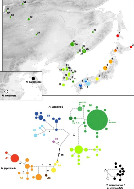 Haplotype network of mitochondrial cyt-b and distribution of the main lineages. For H. japonica, pies are proportional to sample sizes and colors correspond to the different clades. Haplotypes of H. suweonensis (ours and GenBank data) were all sampled within the vicinity of Seoul, Korea, where it is endemic