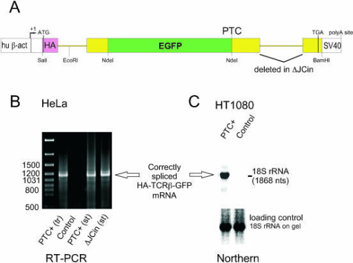 Expression of the HA-TCRβ-GFP reporter gene yields cor   Open-i