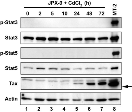 HTLV-1 Tax does not involve in phosphorylation of Stat3 and Stat5. Cell lysates were prepared from CdCl2-treated JPX-9 cells at the indicated time points (lanes 1–7) and untreated MT-2 cells (lane 8: as a positive control). The expression of phospho-Stat3, Stat3, phospho-Stat5, Stat5 and Tax (arrow) was analyzed by Western blot. Actin expression served as a loading control.
