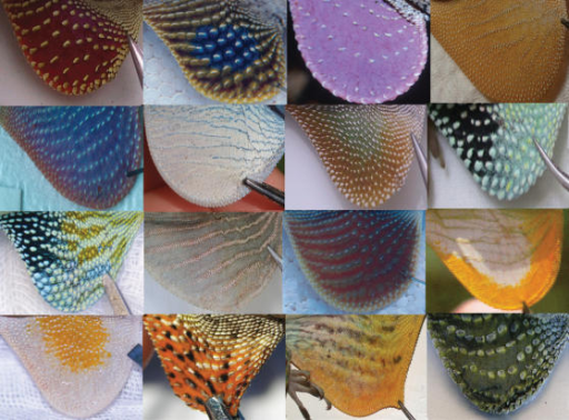 A small sample of Anolis dewlaps exemplifying observed morphological diversity. Some images are modified from original photographs and used with permission from David Hillis and Richard Glor. Species depicted are as follows (in order right to left and top to bottom): A. pulchellus, A. sericeus, A. liogaster, A. longitibalis, A. cobanensis, A. gorgonae, A. cristatellus, A. chlorocyanus, A. reconditus, A. christophei, A. cuprinus, A. new species, A. lineatopus, A. annectens, A. baleatus, A. auratus.