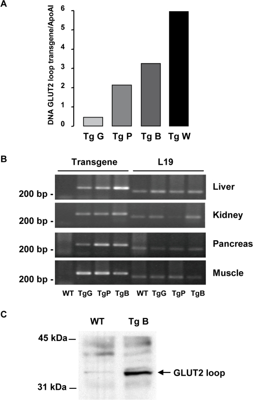 Generation of GLUT2-loop transgenic mice.A: Quantification of the transgene copy number in genomic DNA from independent lines of mice (Tg G, P, B and W) to the reference gene Apolipoprotein A1 (ApoA1). B: RT-PCR analysis of transgene and L19 control mRNA levels in various tissues. C: Immunoprecipitation and immunoblot analysis showing the presence of GLUT2 loop in liver homogenate from transgenic mice.