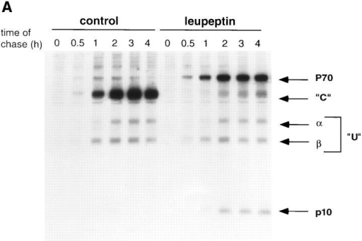 Leupeptin induces  an accumulation of SDS- resistant I-Ab Ii-p10 complexes. (A) Leupeptin induces the accumulation of  10-kD (Ii-p10) and 70-kD  (p70) proteins that coprecipitate with I-Ab. I-Ab–expressing A20 cells were pulsed for  20 min with [35S]methionine  and chased at 37°C for the indicated times in the presence  or absence of 2 mM leupeptin. After lysis, the I-Ab molecules were immunoprecipitated using the Y3P mAb.  The samples were not boiled  before SDS-PAGE. Labeled  class II molecules were not  detected before 30 min of  chase because the Y3P mAb  used for immunoprecipitation does not detect immature αβ dimers complexed  with intact Ii chain. (B) p70  represents SDS-stable complexes containing class II α  and β chains and a 10-kD  protein. After a 20-min  pulse and 4-h chase with or  without 2 mM leupeptin  (lanes Lp and C, respectively), class II molecules  were immunoprecipitated using the Y3P mAb, and the  samples were boiled (B) or  not boiled (NB) before SDSPAGE. After boiling, p70  dissociated quantitatively  into monomers corresponding to αβ and Ii-p10. (C) p70  represents SDS-stable I-Ab  αβ–Ii-p10 complexes. After a 20-min pulse and 4-h chase in the presence of leupeptin, class II molecules were immunoprecipitated with  either anti–I-Ab (Y3P) or anti–Ii chain cytoplasmic domain (IN-1) mAbs. While both antibodies precipitated the p70 complex, only  anti–class II mAb precipitated the 60-kD SDS-stable compact dimer. Thus, p70 but not compact dimers are complexed with Ii chain or  Ii chain fragments (i.e., Ii-p10) that contain the Ii chain cytoplasmic domain. (D) Kinetics of association between Ii-p10 and I-Ab or  I-Ad. Pulse-chase experiments were performed as above using A20 cells expressing only I-Ad or expressing both I-Ad and I-Ab. I-Ad  or I-Ab–containing complexes were then immunoprecipitated using specific mAbs (Y3P and MKD6, respectively), and the amounts of  Ii-p10 associated to the class II molecules were quantified by phosphorimaging. The association of Ii-p10 with I-Ab persisted throughout the chase period, while Ii-p10–I-Ad complexes appeared only transiently.