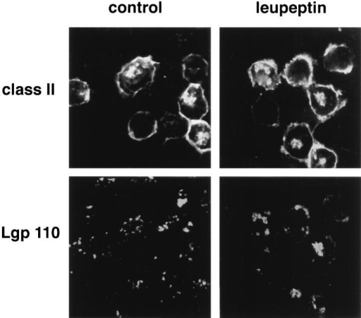 Leupeptin treatment causes MHC class II  molecules to accumulate in  lgp-containing structures by  immunofluorescence microscopy. Control or leupeptintreated (3 h, 2 mM leupeptin)  I-Ab–expressing A20 cells  were fixed, permeabilized,  and then stained for MHC  class II (FITC, using mAb  Y3P, two upper panels) vs  lgp-B (TRITC, using mAb  GL2A7, lower two panels).  In control cells, the small  amount of intracellular MHC  class II was localized to structures that were generally  negative for lgp-B. These  probably represented CIIVs  and early endosomes. Leupeptin treatment, however,  induced extensive colocalization of class II and lgp-B.