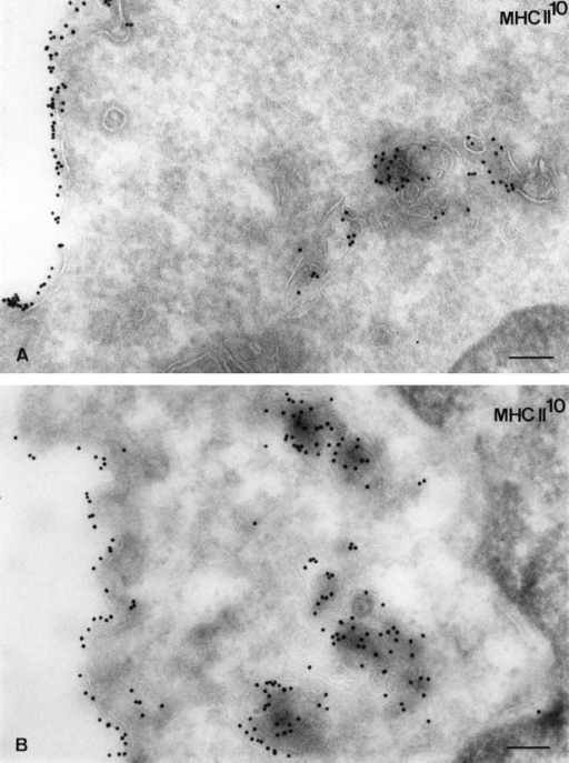 Immunogold localization of MHC class II molecules in leupeptin-treated cells. Ultrathin cryosections were immunogold labeled with the anti–class II mAb M5.114 and protein A–gold (PAG-10). (A) In control cells, MHC class II molecules are found on the  plasma membrane, in intracellular compartments characterized by the presence of internal membranes. (B) In leupeptin-treated cells (18-h  treatment), MHC class II molecules were detected on the plasma membrane and accumulate in electron-dense compartments displaying  internal membranes. Bars, 120 nm.