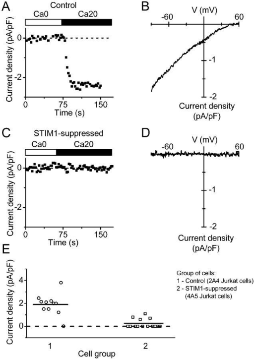 Reduction of Jurkat CRAC current by STIM1 suppression. (A) Current development in selected control 2A4 Jurkat cell. Cells were first bathed in Ca2+-free Jurkat external solution for 5 min and dialyzed with BAPTA-containing Jurkat internal solution. CRAC current was revealed after exchange of Ca2+-free Jurkat solution to 20 mM Ca2+ Jurkat external solution. Maximal current density was evaluated at −110 mV. (B) Leak-subtracted current-voltage relationship of fully developed CRAC current recorded in the same control 2A4 Jurkat cell. (C) Suppression of CRAC current in STIM1-suppressed 4A5 Jurkat cell. (D) Leak-subtracted I-V relationship in the same cell, as in C. (E) CRAC current density in control 2A4 cells (circles, n = 11) and STIM1-suppressed 4A5 cells (squares, n = 11). Horizontal lines indicate the mean value of current density in each group. (P < 3 × 10−6).