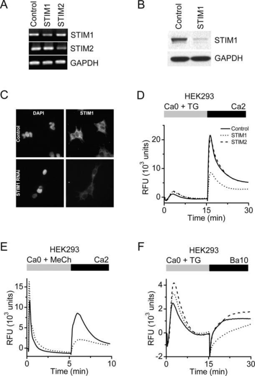 Suppression of STIM1 in HEK293 cells inhibits SOC influx. (A) RT-PCR analysis. STIM1 and STIM2 mRNA levels were reduced in cells transfected with the appropriate siRNA to <50% of control cells (transfected with scrambled siRNA). GAPDH levels were unchanged in either treatment group. (B) Western blot analysis. In cells transfected with the STIM1 siRNA, STIM1 protein levels were reduced to <10% of control levels, whereas GAPDH levels were unchanged. (C) Immunofluorescence localization of STIM1 in HEK293 cells. Nuclear staining pattern (left) with DAPI (Molecular Probes) in HEK293 cells treated with either a scrambled siRNA (top) or siRNA to STIM1 (bottom). No change in nuclear staining pattern or intensity was observed after RNAi-induced suppression of STIM1. STIM1-associated immunofluorescence (right) in HEK293 cells treated with either control (top) or STIM1 (bottom) siRNAs. In control cells, STIM1 has a diffuse reticulated localization pattern with some punctuate staining, which is consistent with expression associated with plasma membrane and ER. The intensity of STIM1 immunofluorescence was markedly decreased in the cells treated with STIM1 siRNA. (D) Calcium signals in HEK293 cells after RNAi-mediated knockdown. Suppression of STIM1 (dotted line) reduced SOC influx by 60% compared with control (solid line; P < 10−4, unpaired t test), whereas suppression of STIM2 (dashed line) had little effect. Data indicate RFUs in 384-well plates monitored in a FLIPR384 fluorimeter. The traces are from a representative experiment, and are averaged signals from 48 wells per group. Traces from cells treated with vehicle (DMSO) instead of TG were essentially flat (not depicted for clarity). (E) Calcium signals after muscarinic receptor activation. RT-PCR analysis revealed that the muscarinic receptor, subtype m3, is expressed in our HEK293 cells (not depicted). 300 μM of methylcholine evoked Ca2+-release transients in Ca2+-free buffer were not inhibited by STIM1 suppression, but SOC influx upon readdition of 2 mM Ca2+ was greatly reduced in STIM1 siRNA-treated cells (dotted line) compared with control cells (solid line). The apparent enhancement of the methylcholine-evoked Ca2+ release transient in the STIM1-suppressed cells was not a consistent finding. (F) TG-induced Ba2+ entry. The rate of TG-induced Ba2+ entry in STIM1-suppressed cells (dotted line) was significantly lower than in control cells (solid line) or STIM2-suppressed cells (dashed line; P < 10−4, unpaired t test).