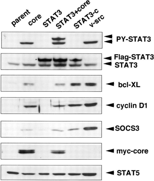 Cell extracts were prepared from parental NIH-3T3 cells (parent; lane 1), core-infected cells (core) (lane 2), and representative clones isolated from soft agar (STAT3 + core [lane 4], STAT3-C [lane 5], and v-src [lane 6]), and NIH-3T3 transformant expressing WT-STAT3 (lane 3), then immunoblotted with the indicated antibodies.