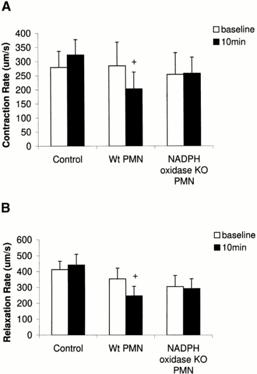 Change in rates of (A) contraction (+dP/dt) and (B) relaxation (−dP/dt) in myocytes under baseline conditions after 10 min in control (no PMNs, n = 6; WT PMNs, n = 7; and NADPH oxidase KO PMNs, n = 6). +, P < 0.05 relative to respective baseline.