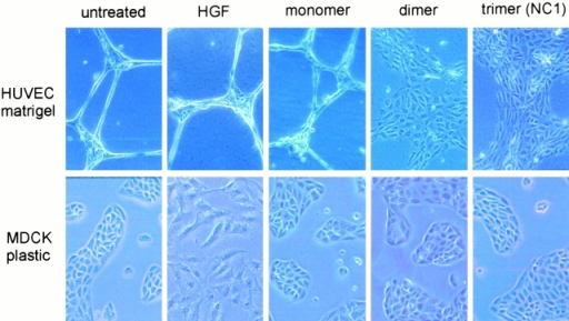Comparison of c18 and HGF motogenic activities. HUVEC tubules on Matrigel for 18 h (top) or MDCK cells on plastic (bottom) were treated with HGF (50 ng/ml), hES monomer (3,500 nM), hES dimer (50 nM), or c18 NC1/hES trimer (50 nM) for 24 h and photographed. Top, magnification ×200; bottom, ×100. Note complete absence of HGF response in HUVECs on Matrigel and complete absence of c18 responses in MDCK cells on plastic.