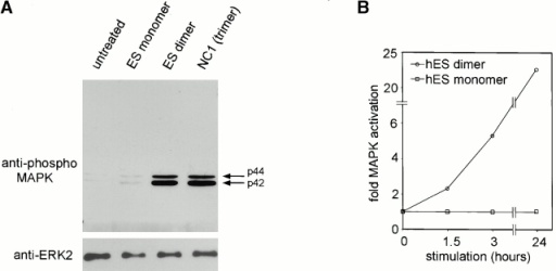 Blockade of the MAPK pathway antagonizes c18-induced motility. (A) Stimulation of MAPK phosphorylation by c18 NC1 and ES dimer. HUVECs on Matrigel in the presence or absence of ES monomer (3,000 nM), ES dimer (50 nM), or c18 NC1 (50 nM), and harvested and analyzed by Western blotting using anti–phospho-MAPK antisera after 24 h. (B) Time kinetics of MAPK activation by ES dimer. HUVECs on Matrigel for 16 h were stimulated with ES dimer (50 nM) or ES monomer (3,000 nM) for the indicated times, followed by harvest and Western blotting with anti–phospho-MAPK antisera. Stimulation was measured by densitometry and represents the average of three independent experiments. Similar results were observed for NC1. (C and D) Inhibition of ES dimer–induced motility by the MEK inhibitor PD98056 but not the p38 inhibitor SB203580. HUVECs were seeded on Matrigel for 16 h followed by 60-min preincubation with or without PD98056 or SB203580 (50 μM), followed by treatment with hES dimer (50 nM) for 12 h, and then harvest for anti–phospho-MAPK Western blot (C) or phase–contrast microscopy (D) (magnification ×40).