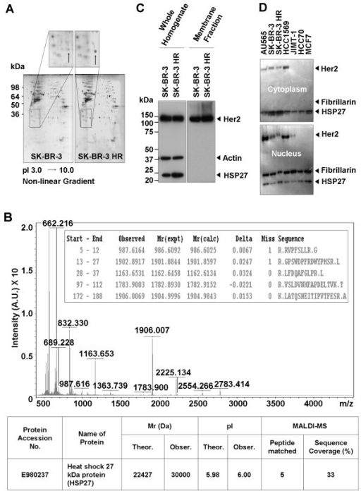 Identification of HSP27 overexpressed in SK-BR-3 HR. (a) Typical pattern of two-dimensional (2-DE) gel electrophoresis analysis of SK-BR-3 and SK-BR-3 HR cells. (b) Identification of HSP27 by MALDI-MS analysis. The protein spot indicated in the enlarged image in Figure 2A was in-gel-digested by trypsin and subjected to MALDI-MS analysis. The protein was identified as human HSP27. (c) Western-blot analysis to confirm overexpressed HSP27 in SK-BR-3 HR cells. (d) Subcellular levels of HSP27 and Her2 in seven individual human breast cancer cell lines.