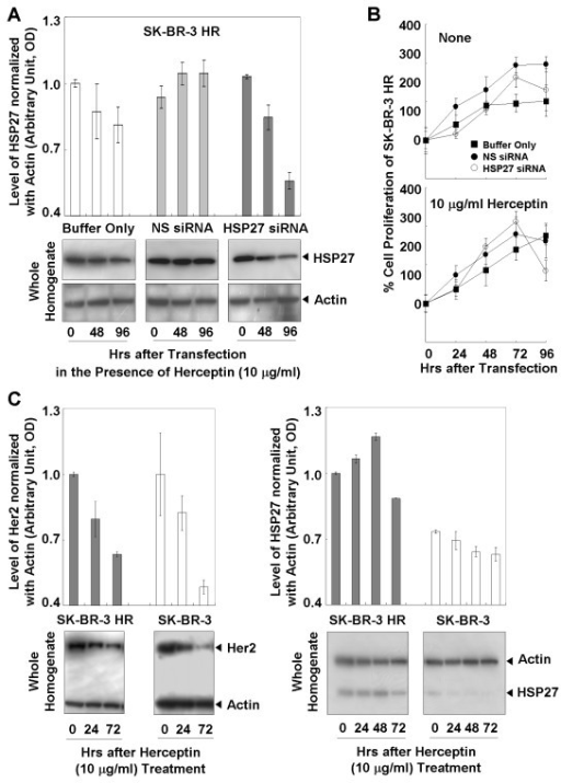 Effects of suppressed HSP27 on the susceptibility of SK-BR-3 HR to Herceptin. (a) Suppressed HSP27 after transfection with siRNAs in the presence of Herceptin. (b) MTT analysis showed increased Herceptin susceptibility of SK-BR-3 HR after HSP27 suppression. (c) Effect of Herceptin on the levels of Her2 and HSP27. Altered total levels of HSP27 and Her2 by Herceptin treatment. Treatment of Herceptin led to reductions in HSP27 and Her2 levels in the homogenates of SK-BR-3 and SK-BR-3 HR cells. Data (a, b, c) are means ± standard deviations of three independent experiments.