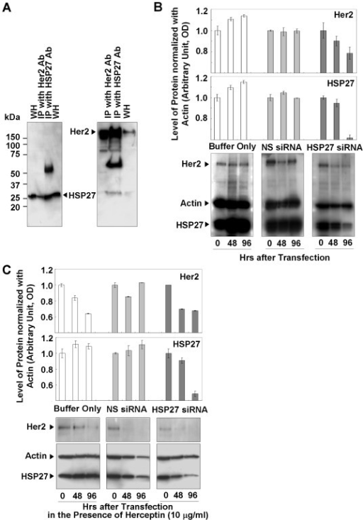 Interactions between HSP27 and Her2, and reduced Her2 levels after HSP27 suppression. (a) Western-blot analysis of immunoprecipitates of anti-Her2 and anti-HSP2 antibodies. (b) Reduced Her2 levels associated with HSP27 suppression. (c) Reduced levels of Her2 in control and HSP27-suppressed cells in the presence of Herceptin. Data (b, c) are means ± standard deviations of three independent experiments.