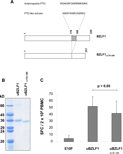Deletion of a C-terminal arginine-rich domain within BZLF1 with homology to PTD does not abrogate the capacity of uBZLF1 to activate specific T cells.(A) A truncated BZLF1 protein, engineered by deletion of the arginine-rich domain (BZLF1Δ176–189) was expressed in E. coli, purified and treated with urea as described in materials and methods. (B) The purity of BZLF1 and BZLF1Δ176–189 was assessed by Coomassie staining. (C) PBMC of healthy EBV-seropositive donors were stimulated for 20 h with 10 µg/ml uBZLF1, BZLF1Δ176–189 or the HIV control peptide E10F and the frequencies of IFN-γ producing cells were assayed by ELISpot. The data show mean spot forming cell (SFC) values±standard deviation (s.d.) of 5 replicate stimulations and are a representative of results performed with PBMC of 3 different individuals.