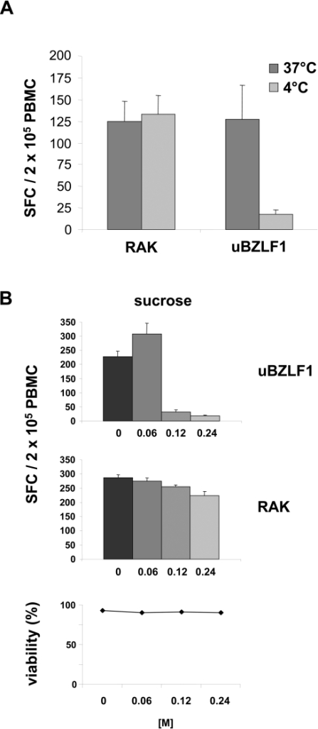 Uptake of uBZLF1 occurs in temperature-dependent manner by clathrin-mediated endocytosis.(A) This uptake and cross-presentation of uBZLF1-derived epitopes is inhibited at 4°C. PBMC were pulsed for 2 h at 4°C or 37°C with uBZLF1 or RAK peptide. The number of BZLF1-specific lymphocytes was determined by ELISpot. (B) Cross-presentation of uBZLF1 is blocked by sucrose, an inhibitor of clathrin-mediated endocytosis. Donor PBMC were stimulated with either uBZLF1 or the RAK peptide in presence of the indicated concentrations sucrose and the frequency of IFN-γ secreting cells was analyzed. Sucrose did not exhibit cytotoxic effects on PBMC at the used concentrations, as shown by PI-staining. All ELISpot data show mean SFC values+s.d. of 5 replicate stimulations and are representative of results performed with PBMC of 2 different individuals.